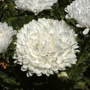 Цветы Астра Зефир