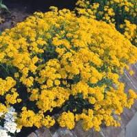 Цветы Алиссум  Золотая пыльца