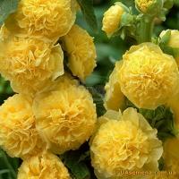 Цветы Мальва Желтая Королева