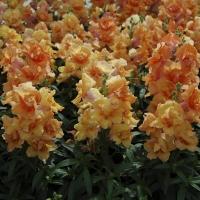 Цветы Львиный зев Твинни F1 Желтый с прожилками