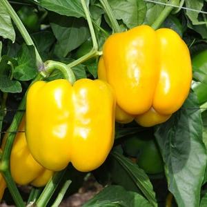 Перец сладкий Желтый Дывосвит