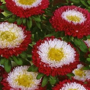 Цветы Астра Зимняя вишня