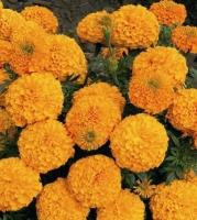 Цветы Бархатцы Золотое Время
