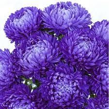 Цветы Астра Зульфия