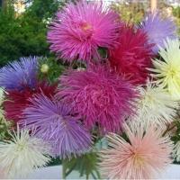 Цветы Астра смесь Звездный Дождь